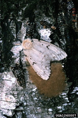 Gypsy moth laying eggs.
