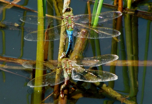 Michigan dragonflies