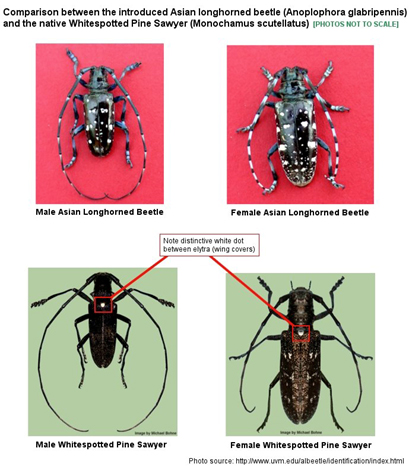 Male and female Asian longhorned beetle compared to male and female whitespotted pine sawyer.