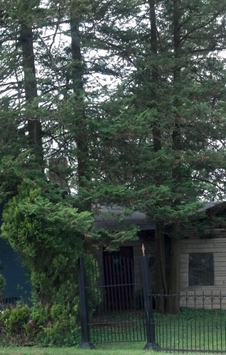 Pine trees on house