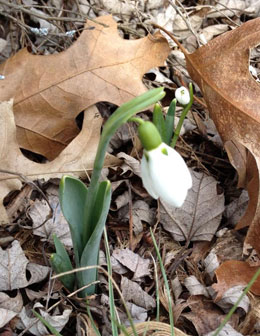 Snowdrops are already showing themselves in southern Michigan. Photo by Kathy Foerster, retired MSU Extension Specialist.