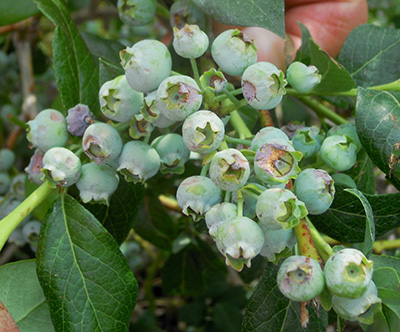 Blueberries in bush with hail damage.