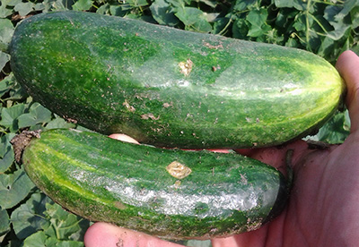 hail damage on cukes