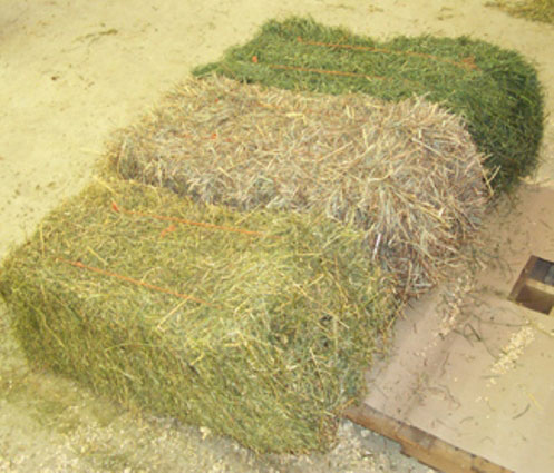 cuttings or species of hay to horses
