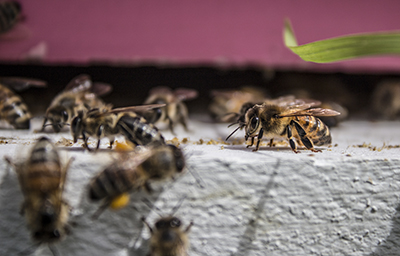 Honey bees at the entrance of a hive.