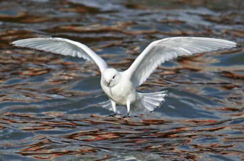 Ivory gull flying ovef water