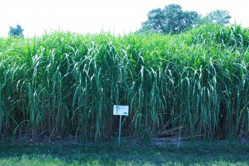 Miscanthus growing in a field.