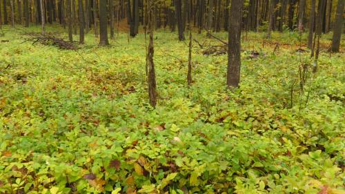Forest floor of white ash seedlings