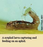 A syrphid larva capturing and feeding on an aphid.