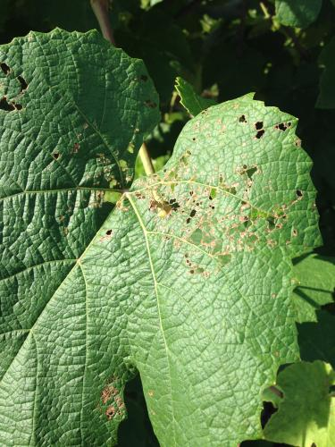 Japanese beetle feeding damage