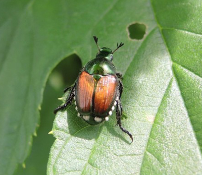 Japanese beetle on hop
