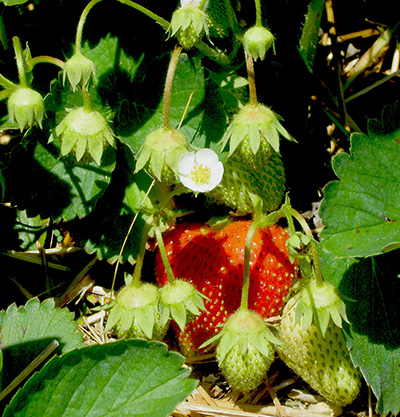 Cluster of strawberries