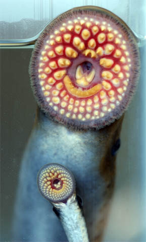Large and small sea lamprey.