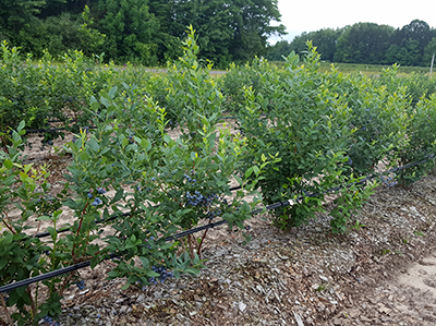 Two-year-old 'Last Call' blueberry bushes.