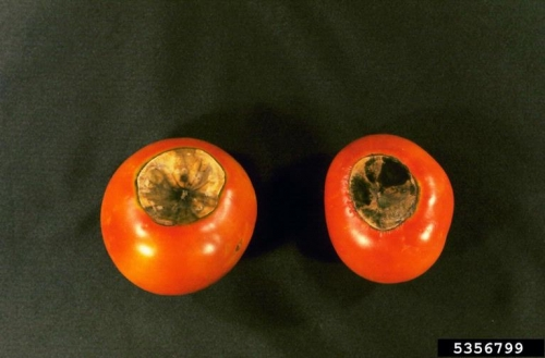 Blossom-end rotted tomatoes.