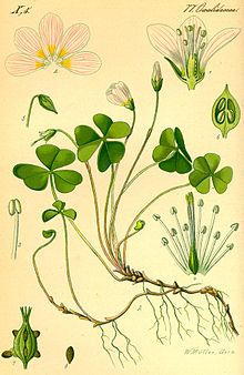 Illustration of the weed Wood sorrel