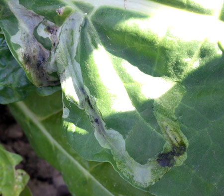 Leafminer in Swiss chard