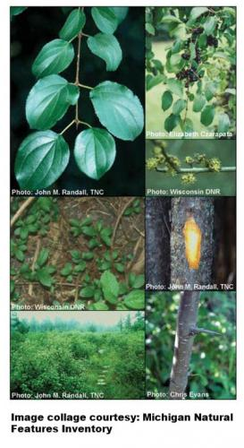 Invasive buckthorn collage image.