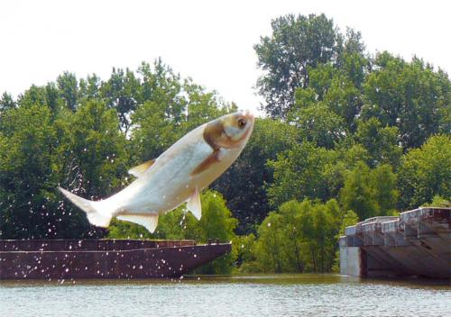 Asian carp jumping a barge image.