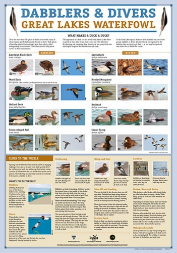 Dabblers & Divers duck poster image.