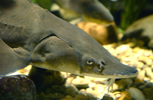 Lake Sturgeon image.