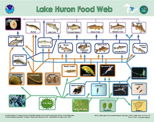Lake Huron food web chart.