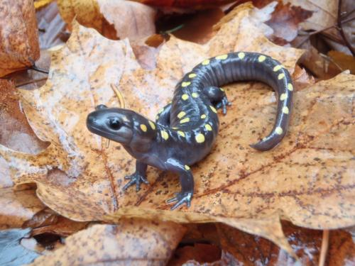Vernal pools are rich in biodiversity and provide critical habitat for many species such as Spotted Salamanders. Photo credit: Yu Man Lee and Becky Norris, Michigan Natural Features Inventory | MSU Extension