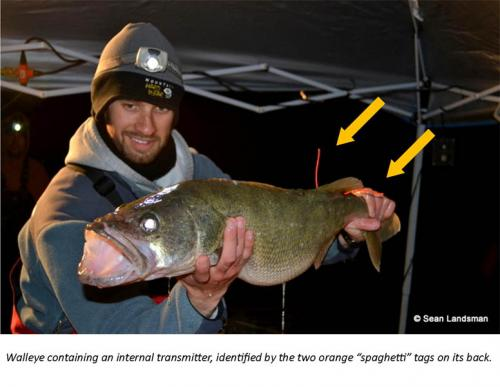 Tagged walleye for research image.