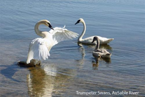 Trumpeter swans on Au Sable River in Michigan image.