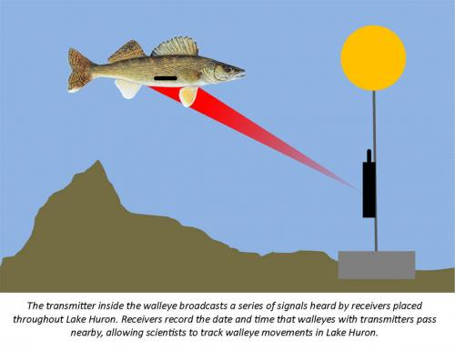 Walleye acoustic transmitter graphic.