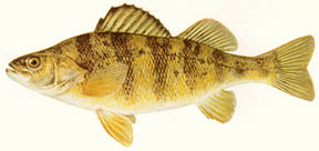 Yellow perch image courtesy Michigan Department of Natural Resources.
