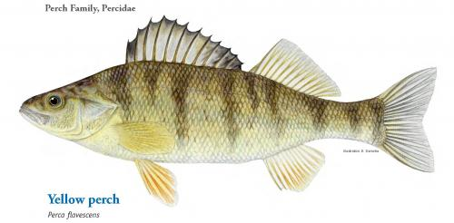 Yellow perch image.
