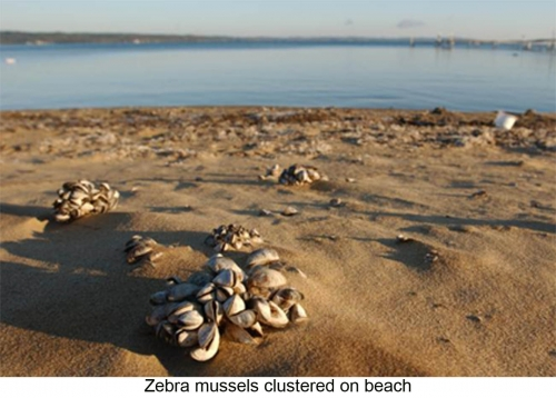 Zebra mussels clustered on beach