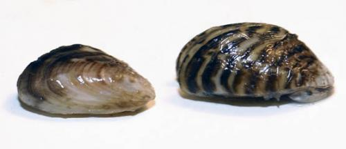Quagga and Zebra mussel image.