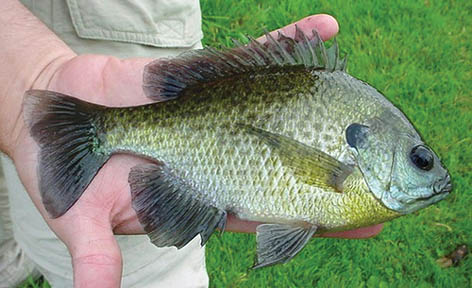 Bluegill image: Courtesy Michigan Sea Grant