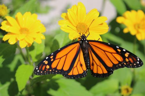 Monarch butterfly on yellow flower image.