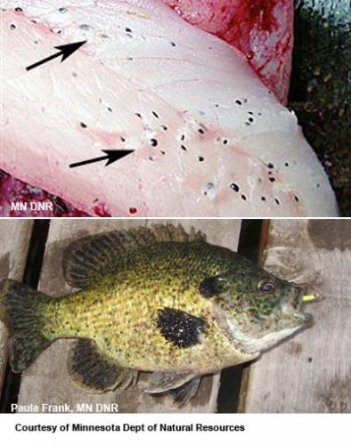 Black spot on panfish image.