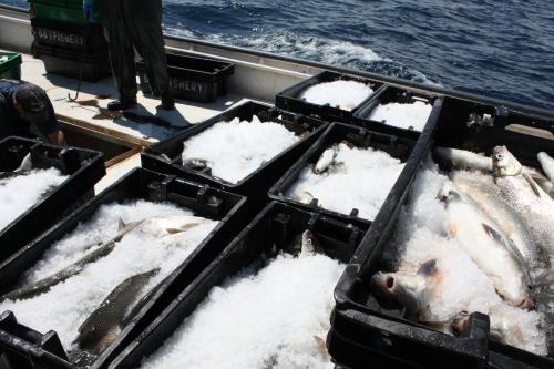Whitefish catch in ice totes on boat image.