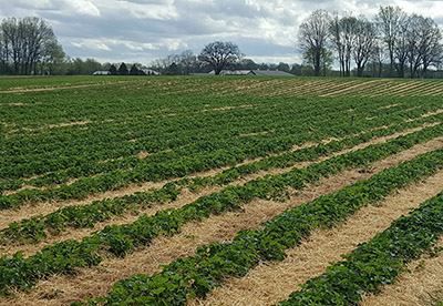 Straw covering strawberry field