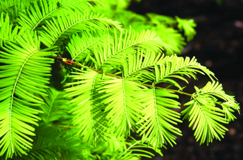 "Metasequoia glyptostroboides ""gold rush"""