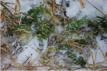 Forage radishes and oat mixture as uncovered by sheep grazing through the snow in mid December