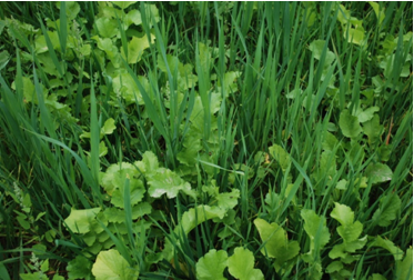 Forage radish and oat mixture in late September after 50 days of growth