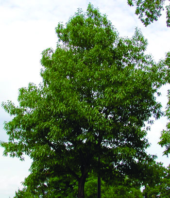 Northern Pine Oak