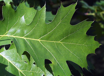 Stop Pruning Oak Trees Now To Avoid Oak Wilt Msu Extension