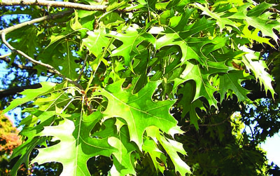 Northern Pine Oak Leaves