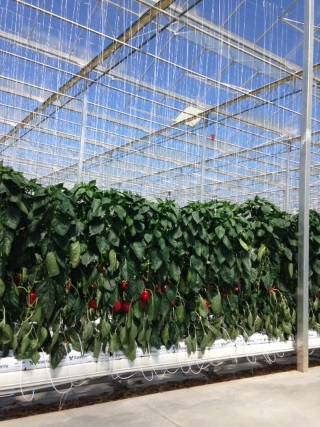 Peppers greenhouse