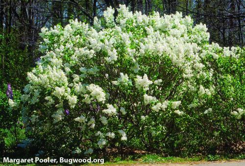 Lilac bush. Photo: Margaret Pooler, Bugwood.org