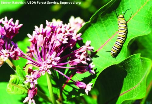 Monarch caterpillar on a common milkweed. Milkweeds are its sole source for food. Photo: Steven Katovich, USDA Forest Service, Bugwood.org.