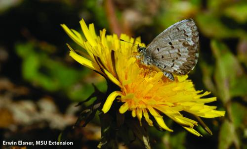 A dandelion draws a butterfly to its blossom. Photo: Erwin Elsner, MSU Extension.
