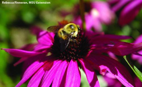 A bee finds a coneflower. Photo: Rebecca Finneran, MSU Extension.